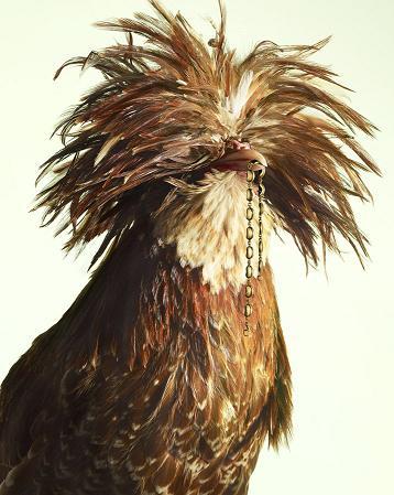 小鸡拍珠宝大片家禽也奢华